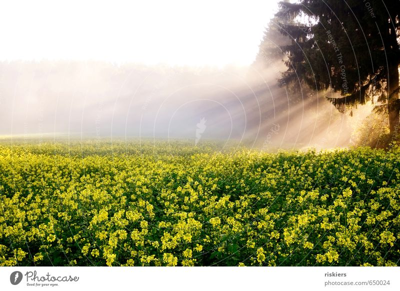 Light me up Environment Nature Landscape Plant Sunrise Sunset Sunlight Autumn Weather Beautiful weather Fog Agricultural crop Canola field Field Forest