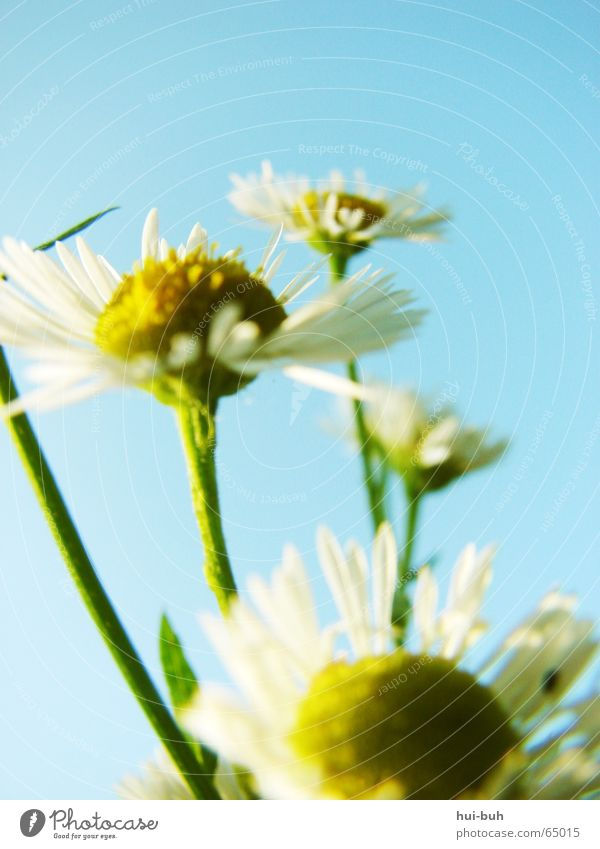 Nature Sky White Flower Yellow Blossom Freedom Delicate Upward Ecological Fragile Light blue