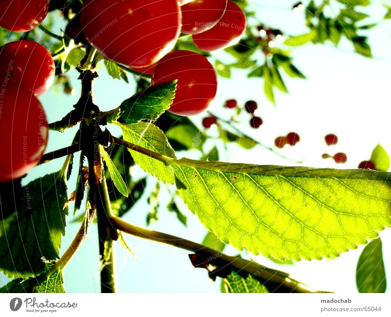 KIRSCH ME UP Cherry Plant Foliage plant Summer Sun Fresh Healthy Vitamin Ecological Delicious Sweet Longing Green Lovely Red Attempt Alluring Flirt Resist Hope