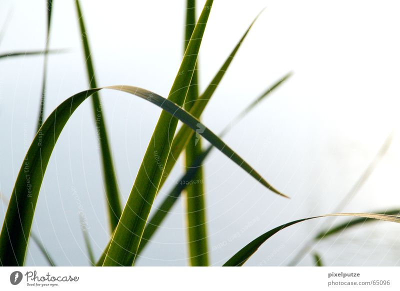 Nature Green Blue Lake Dynamics Common Reed Blade of grass