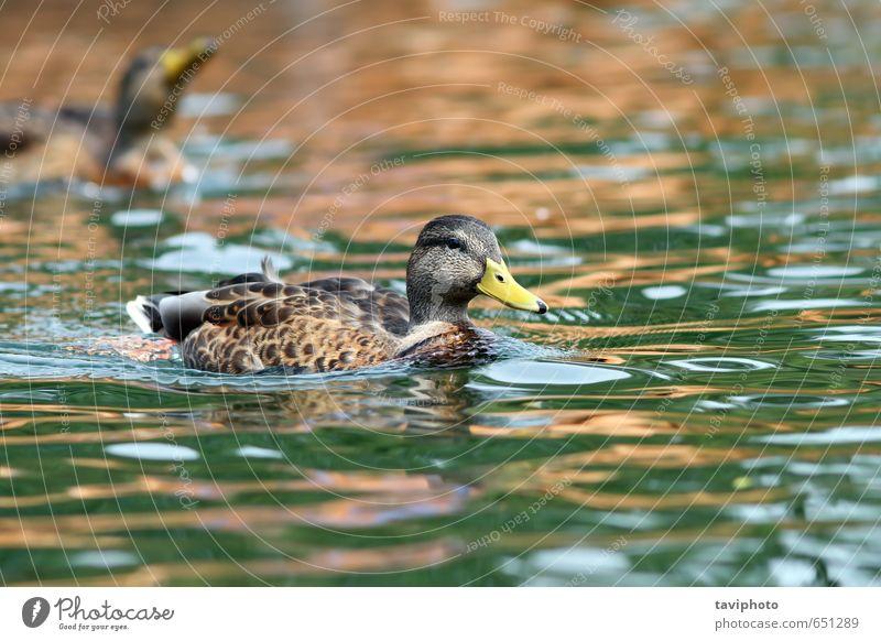 mallard duck swimming on water surface Beautiful Summer Woman Adults Environment Nature Animal Park Pond Lake River Bird Wild Brown Green Colour Mallard