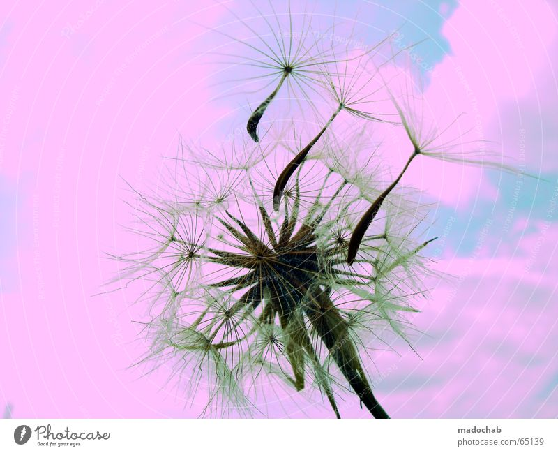 BOMBING PEACE INTO LOVELY PINK | greeting love gay nature sky Flower Green Plant Foliage plant Dandelion Dream Dream world Intoxication Desire Contentment Hope