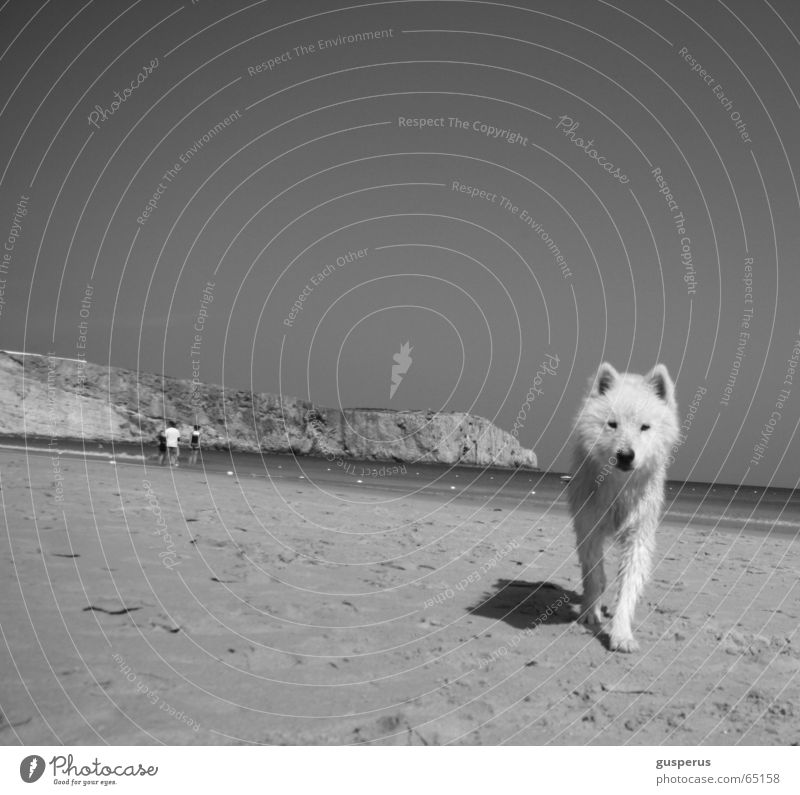 {greyhound} Dog Husky Beach Physics Portugal Beautiful Warmth Sand Water Bay Beautiful weather Be confident puppy dog Black & white photo blue and white
