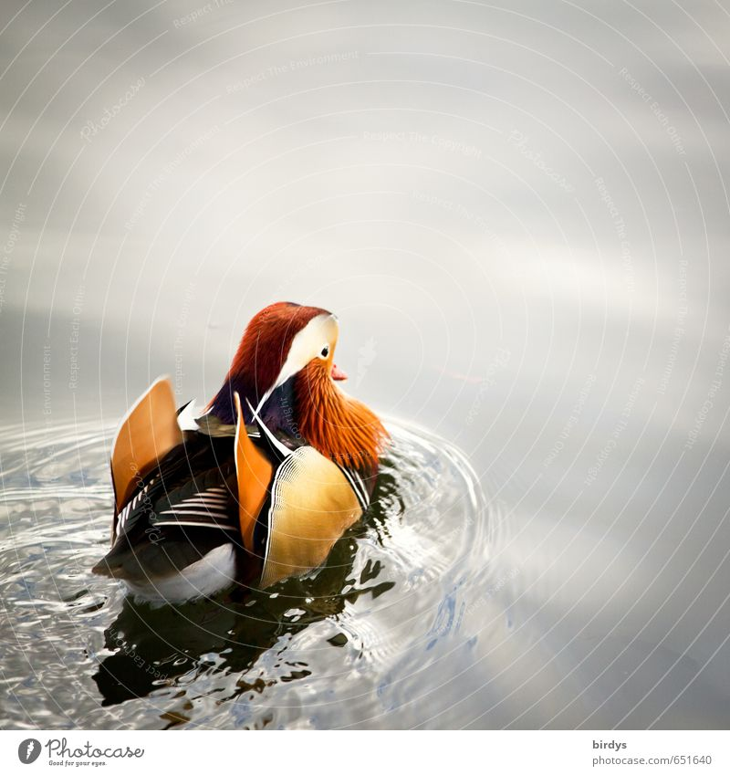Nature Beautiful Water Calm Animal Life Movement Swimming & Bathing Lake Waves Esthetic Exotic Positive Duck Pond Drake