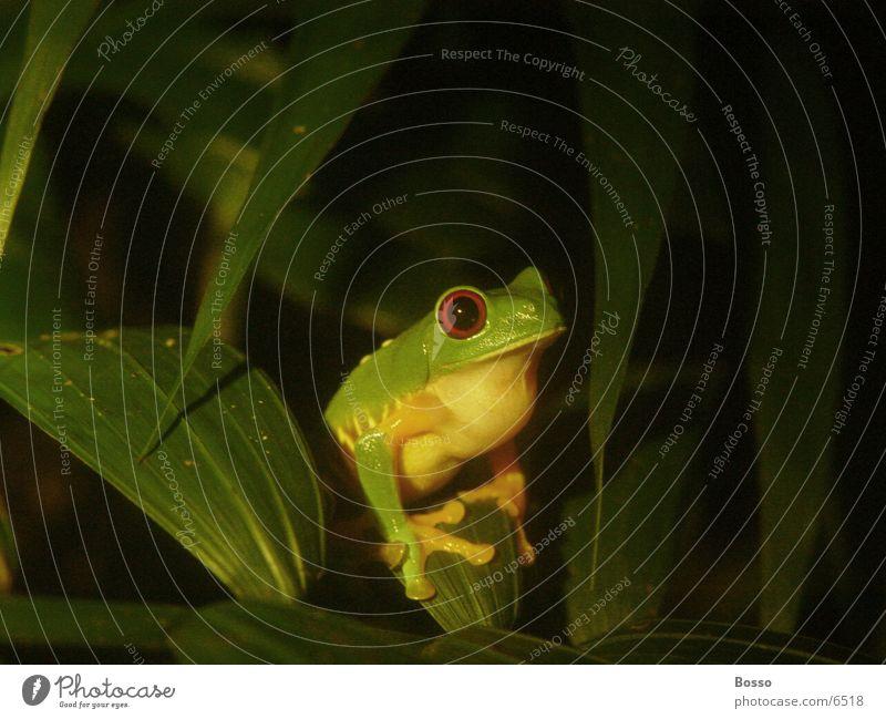 Night frog Close-up jungle Detail night
