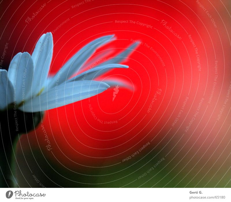 Nature White Flower Red Division Blossom leave Daisy Marguerite Attempt Half Rip Oracle With love Test of love