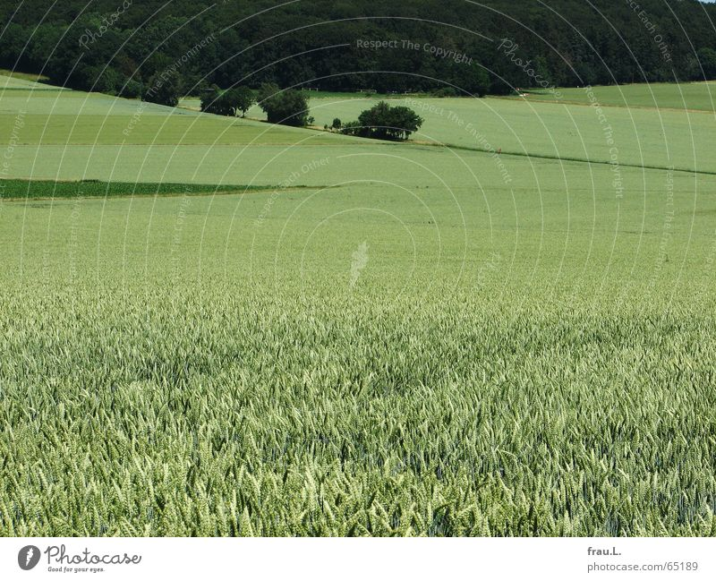 Nature Green Summer Tree Landscape Calm Forest Lanes & trails Field Corner Pallid Few Wheat Reduce Midday Lower Saxony