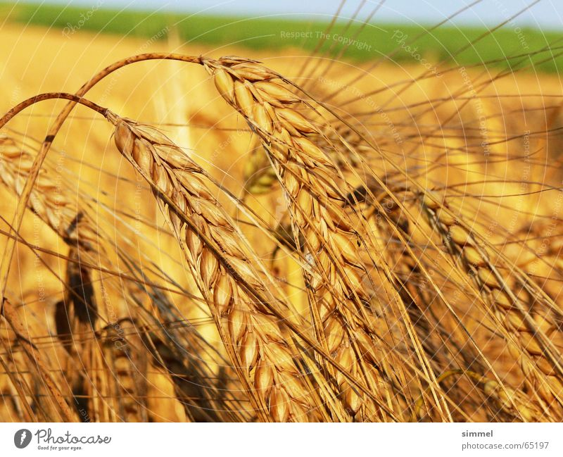 The time is ripe Yellow Wheat Plant Summer Healthy Fresh Nature Grain