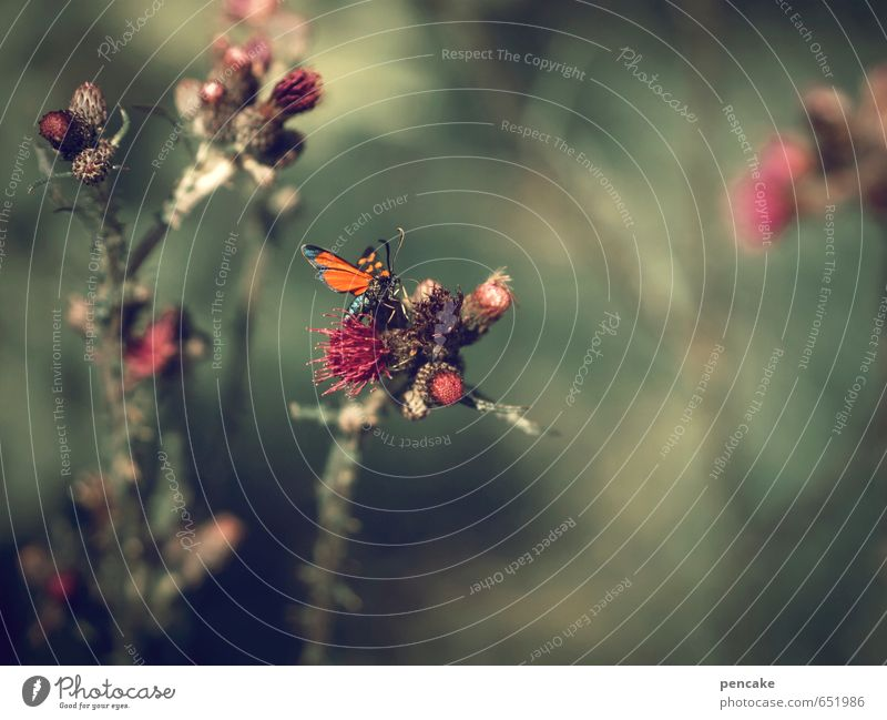 buzzer time Nature Plant Summer Wild plant Animal Butterfly 1 Sign Warmth Thistle Thistle blossom Red Green Ambience Soft Happy Space cadet Colour photo