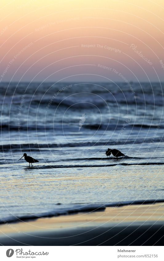 Sunset Birds Beach Ocean Waves Nature Sand Sky Coast Wild Yellow Gold Red Pacific Ocean wave water wildlife solitude seascape fishing orange Colour photo