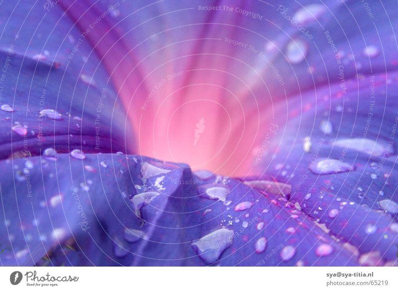 drops on purple flower Flower bleed vulcan burst flames Drop