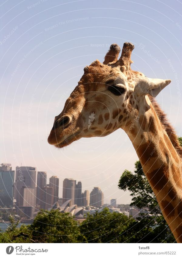 City Animal Life Landscape Art Zoo Skyline Beautiful weather Giraffe Sydney