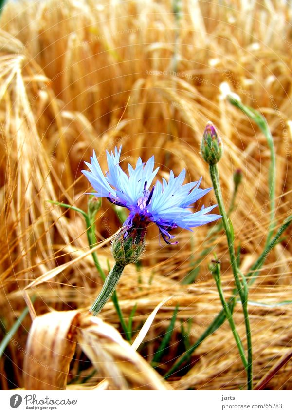 Right in the middle Cornfield Cornflower Flower Field Meadow Loneliness Blue flower grain jarts