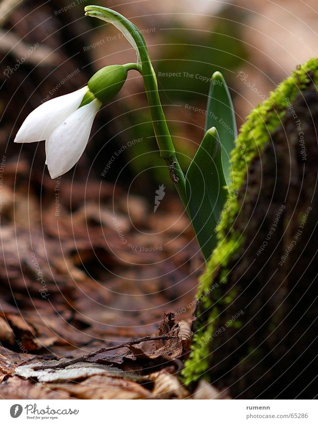 snowdrop Winter Nature flower outddor forest white
