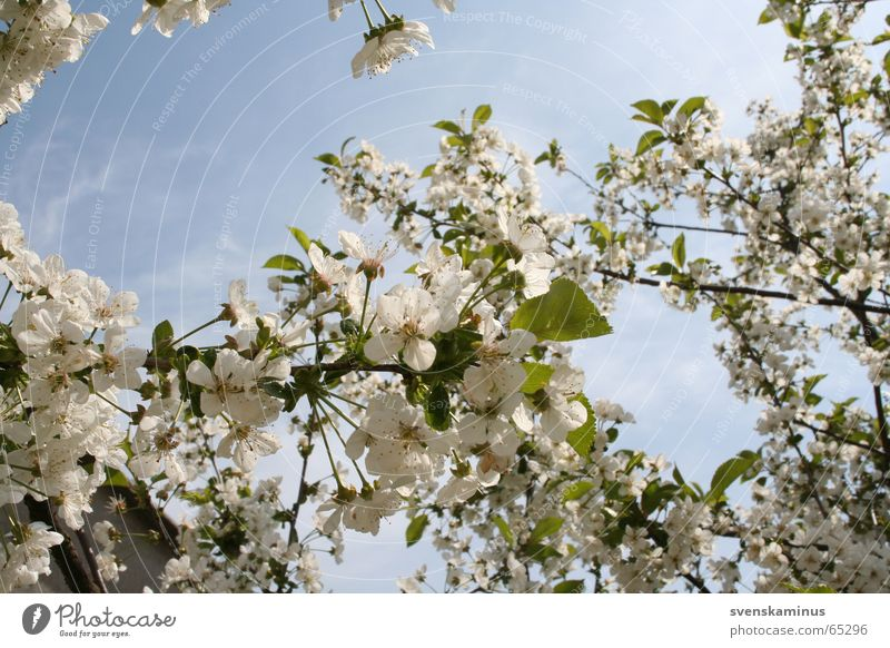 Sky Tree Blossom Cherry Cherry blossom