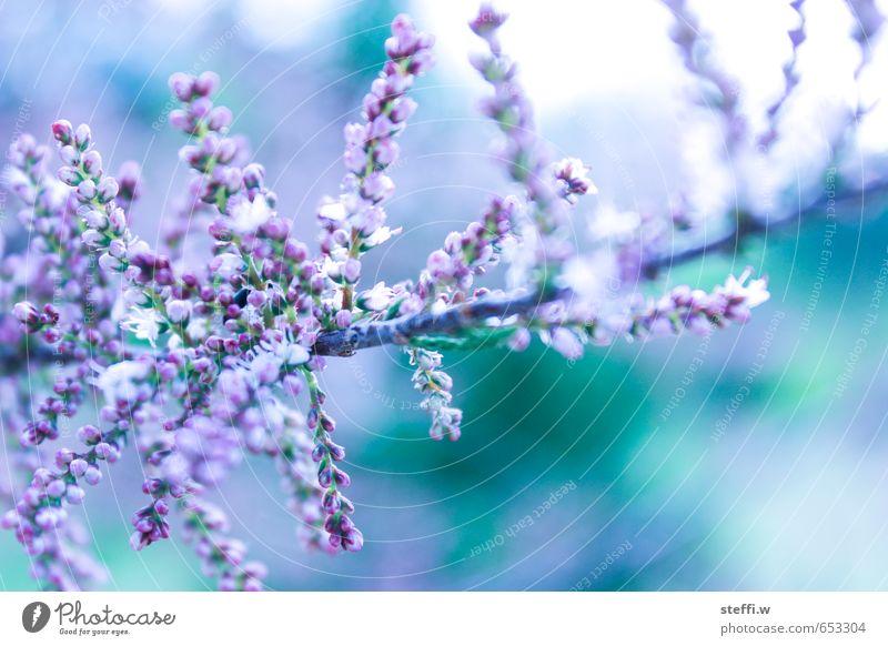 Nature Plant Summer Blossom Garden Bushes Violet Turquoise