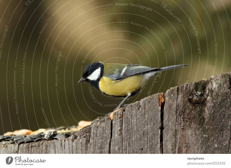 great tit on a stump with seeds Eating Beautiful Winter Garden Environment Nature Landscape Animal Bird Feeding Small Cute Wild Yellow White Appetite wildlife