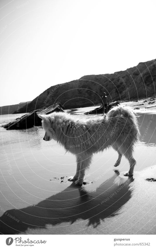 {greyhound II} Dog Husky Beach Physics Portugal Beautiful Warmth Sand Water Bay Beautiful weather Be confident puppy dog Black & white photo blue and white