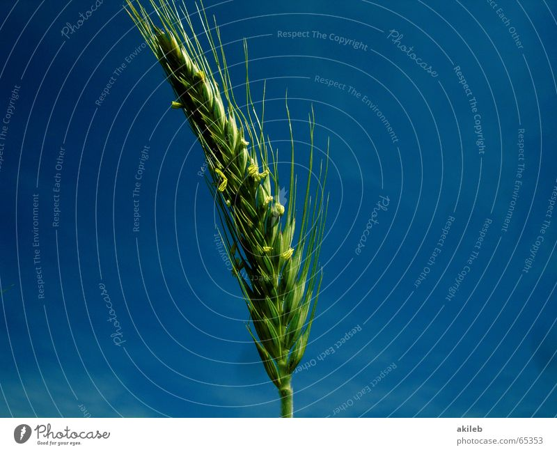 Sky Blue Green Summer Calm Relaxation Yellow Field Weather Wind Hope Agriculture Grain Warped Rye