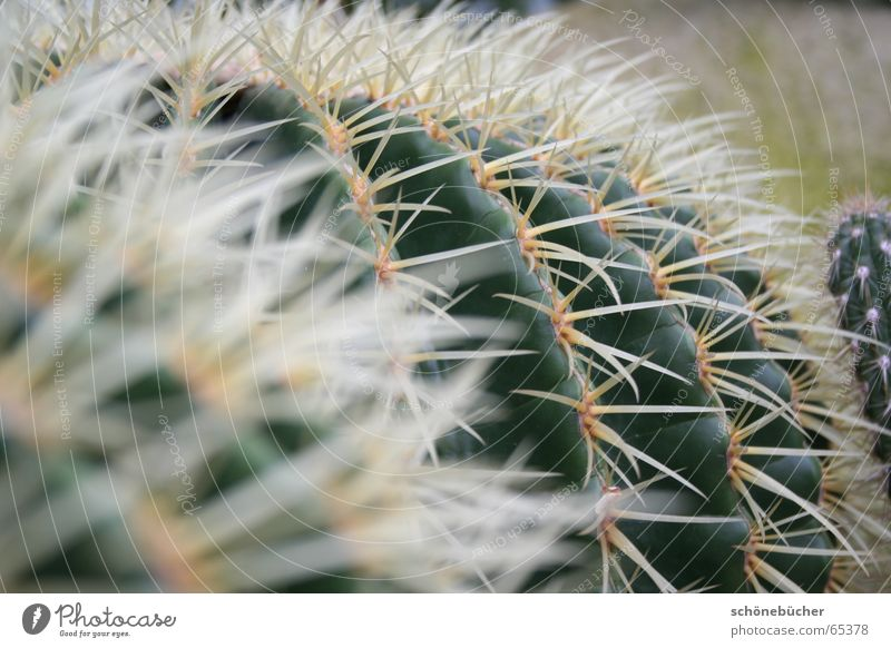 razor-sharp Cactus Thorn White Blur Green Fat Frankfurt Physics Interior shot prick Pain Perspective palm garden Warmth cactus house not fluffy