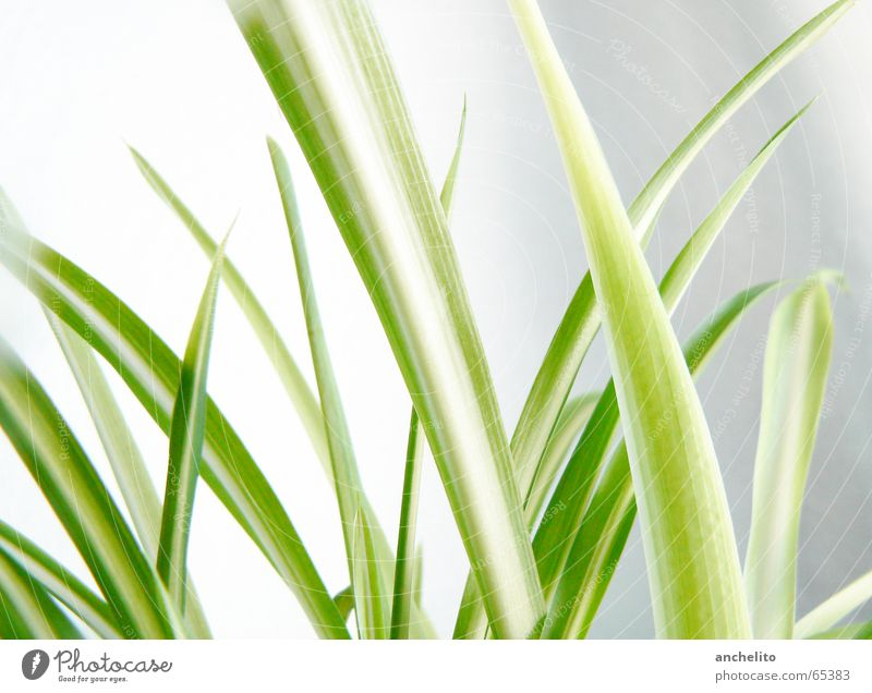 Green on White Grass Wall (building) Blade of grass Plant Nature Calm Color gradient Macro (Extreme close-up) Close-up culm stem blade save leaf leaves sharp