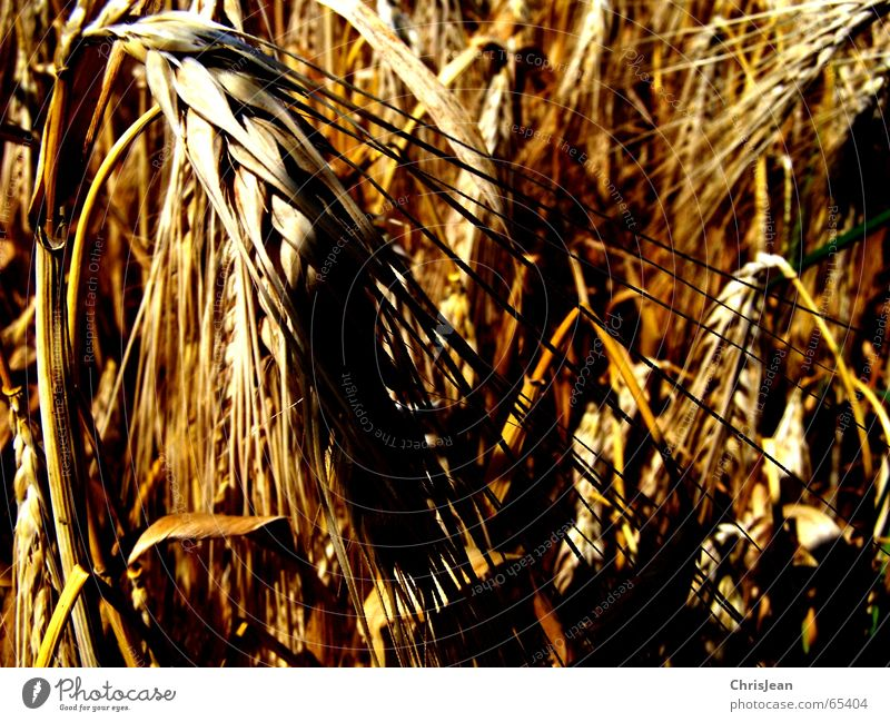 untitled Grain Nature Field Yellow Wheat Barley Blade of grass Exposure trace traces eras Deep yellow Shadow