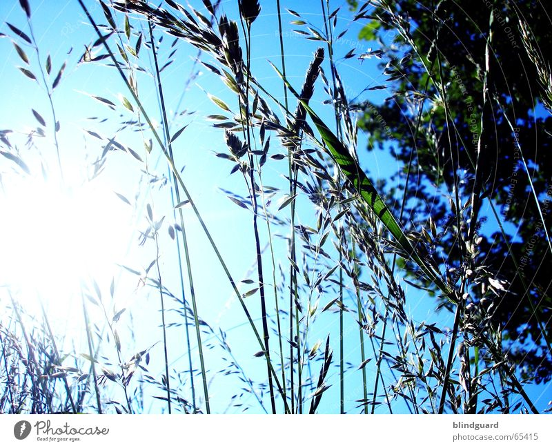 grass curtain Grass Bushes Back-light Dazzle Green Worm's-eye view Under Sun Sky Blue wild meadow
