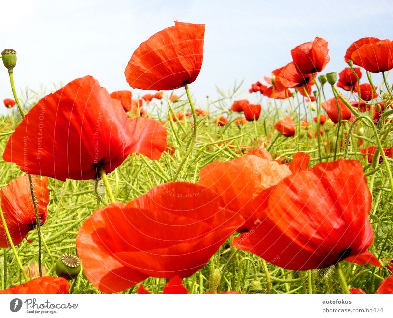 Flower Red Colour Field Poppy Flower field