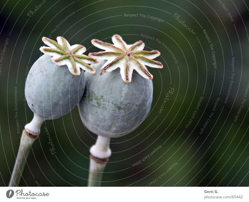 Green Love Gray 2 Together Star (Symbol) In pairs Kissing Stalk Seed Swing Bud Pistil Poppy Opium poppy