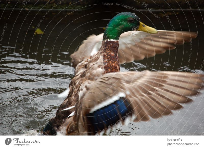 morning laundry Bird Mallard Laundry Feather Multicoloured Pond Judder Drake water lake Duck Beginning