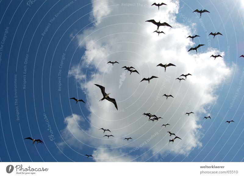 Invasion of Mexican frigate birds Clouds Bird Blue-white Air Animal Yucatan Sky Mexico invasion celestun National Park