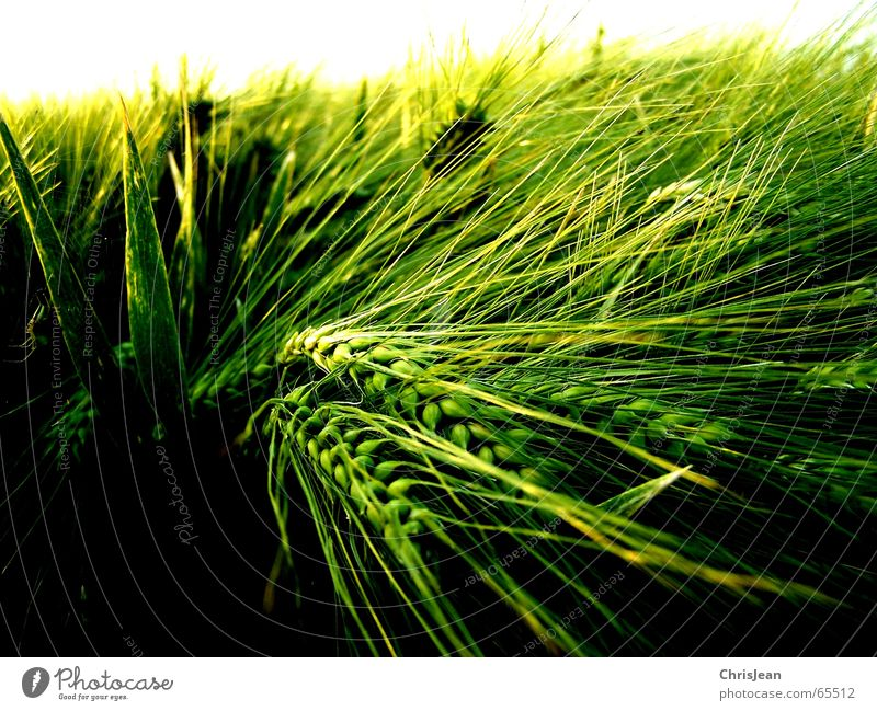 Barley 2 Blade of grass Field Green Yellow Ear of corn Work and employment Growth Light Shaft of light Fine Background picture White Calm Niederrhein Relaxation