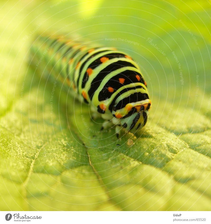 Green Summer Animal Insect Long Butterfly Caterpillar Swallowtail