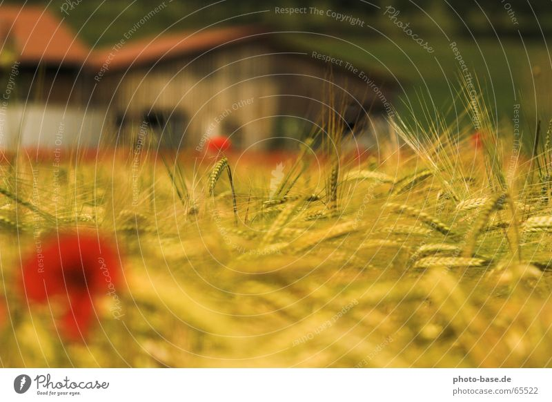 summer dream Poppy Corn poppy Yellow Red Field Grain