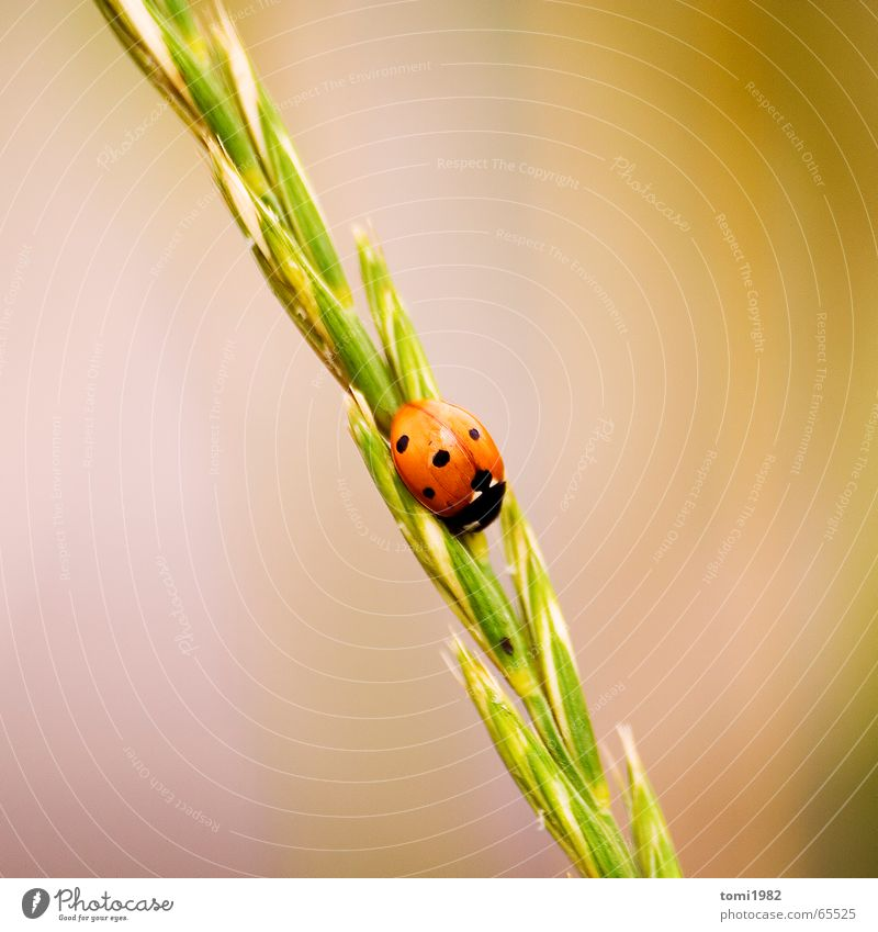 ladybugs Ladybird Grass Animal Insect Summer Meadow Small Fine Sweet Middle Top Grain highnoon Nature Life Earth