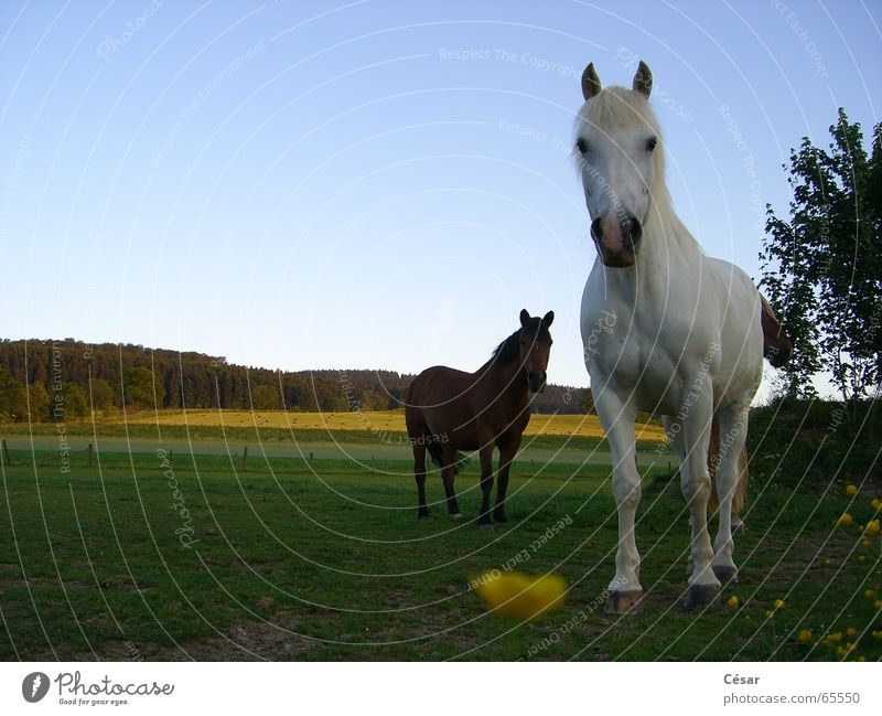 Deux chevaux au soleil couchant Horse Forest Sauerland Meadow Country life Mold Brown Evening Americas