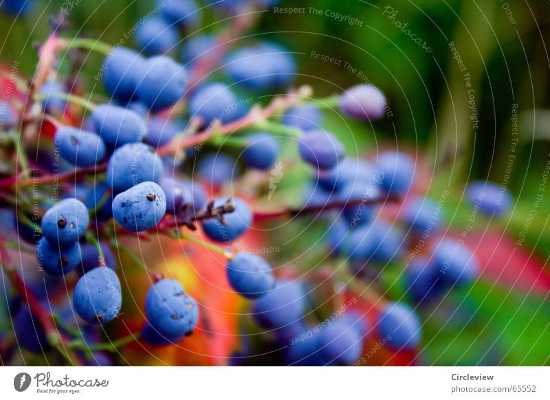 Nature Beautiful Blue Plant Summer Colour Autumn Garden Think Environment Fruit Fresh Pearl Wonder Splendid Rawanberry