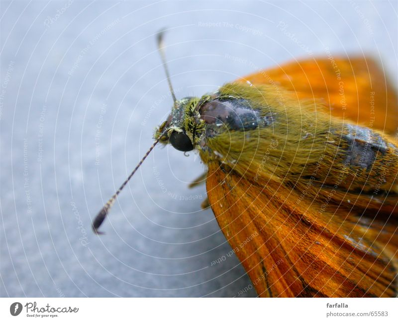 Farfalla Butterfly Feeler Gray Orange Macro (Extreme close-up) Flying Wing Freedom
