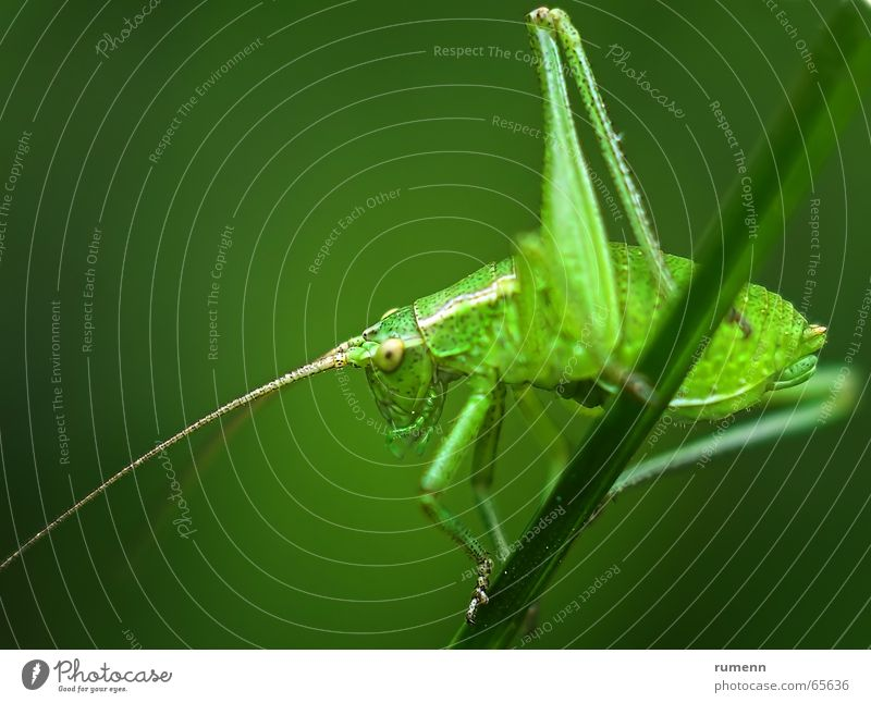 grasshopper Bow Jump Macro (Extreme close-up) animal insect big outddor