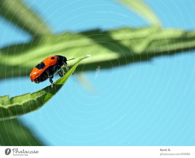 lucky beetle Green Fresh Happiness Leaf green Ladybird Spotted Blur Insect Sky blue Profile Side Feeler Happy Blue Brash Free Wing Shadow background blur