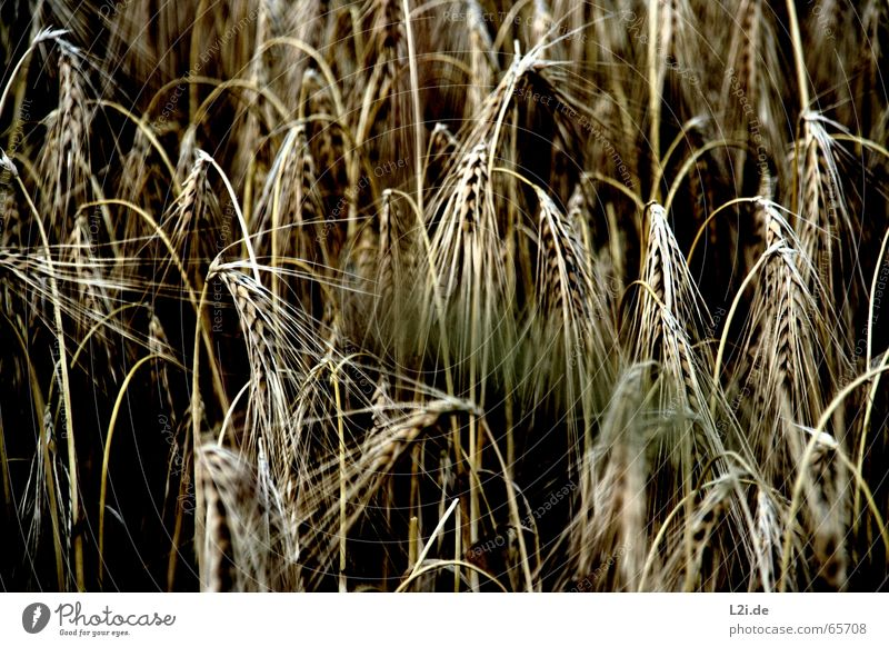 Nature Summer Black Yellow Brown Field Grain Harvest Organic produce Wheat Rye Oats