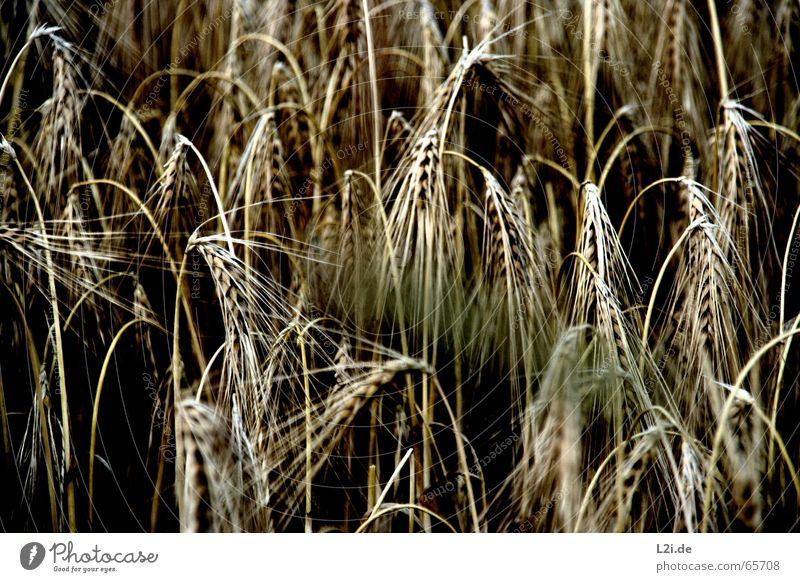 Nature Summer Black Yellow Brown Field Grain Harvest Organic produce Wheat Rye Oats