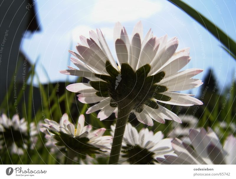 I'm a daisy. Daisy Meadow Green Juicy Grass Long Summer Hot House (Residential Structure) Blur Goose Flower the daisy his friends Sky Blue Sun Unclear macro sky