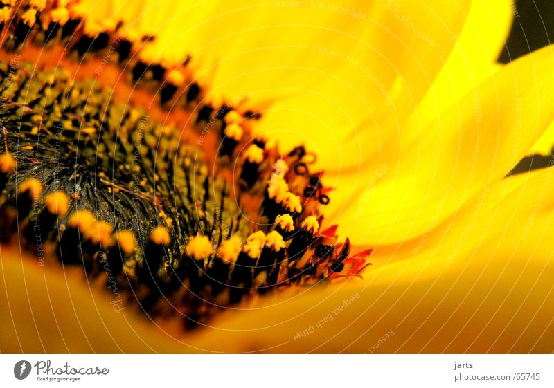 sunny side Sunflower Flower Blossom Summer Yellow Fresh Good mood Macro (Extreme close-up) Close-up Pistil Nature Garden jarts