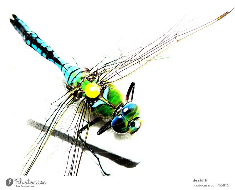 the queen dragonfly. Dragonfly Emperor dragonfly Animal Insect Biology Multicoloured Brilliant Colour Contrast Death Wing big eyes pinned collector's item