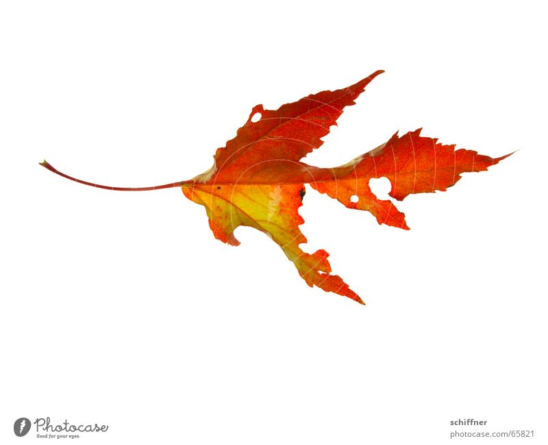 Autumn foliage I Multicoloured Isolated Image Leaf Broken Yellow Red Indian Summer Consumed Row Autumnal Hollow Bright Colours Stalk Autumn leaves Illuminate