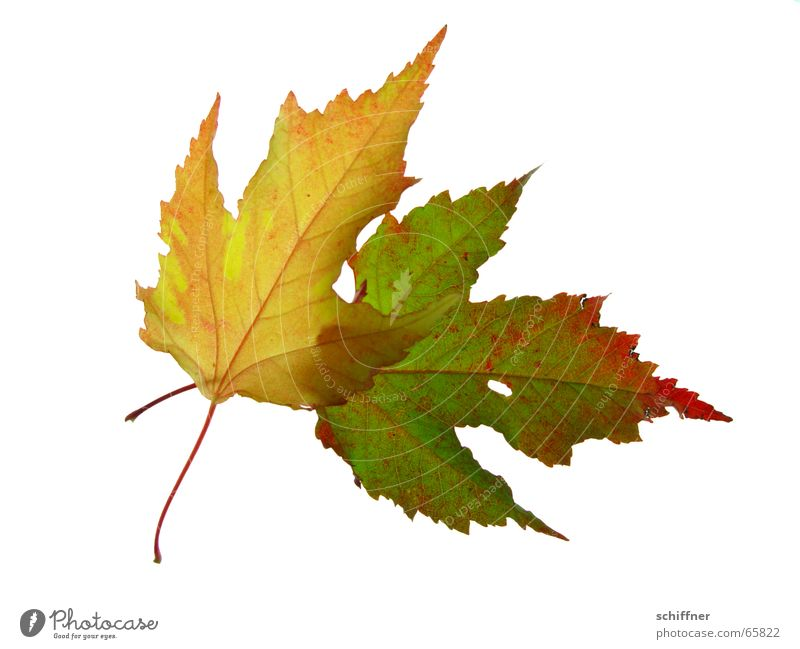 Old Red Leaf Yellow Autumn Together Isolated Image Stalk Row Hollow Matrimony Autumn leaves Autumnal Indian Summer Bright Colours