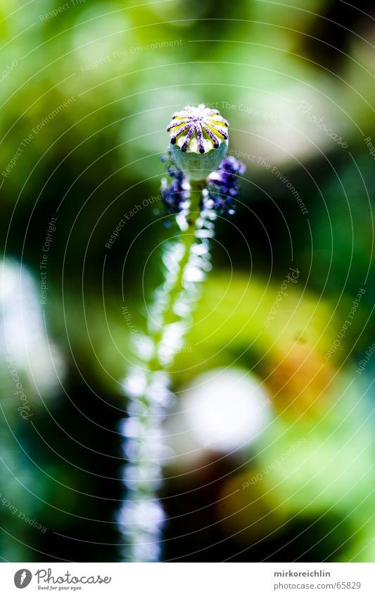 Poppy seed 3 Leaf Leafless Plant Green Blur Fate bigway Cool (slang)