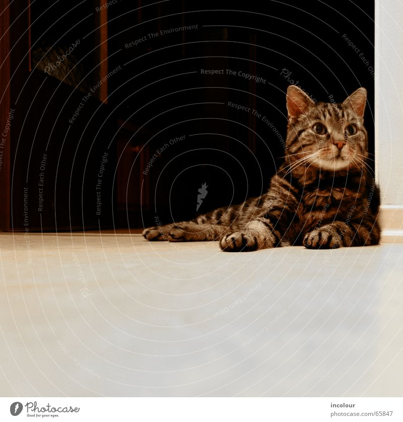 chillout Cat Domestic cat Brown Kitten Comfortable Paw Purr Tabby cat Animal Looking Lie Watchfulness Copy Space bottom Copy Space left Calm Serene