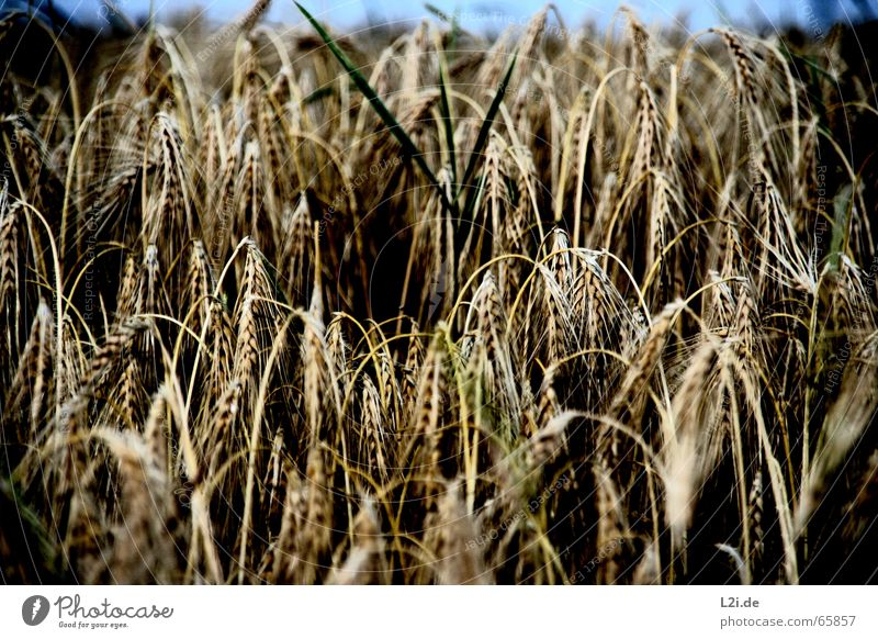 Nature Summer Black Yellow Brown Field Grain Harvest Organic produce Blade of grass Wheat Straw Rye Oats